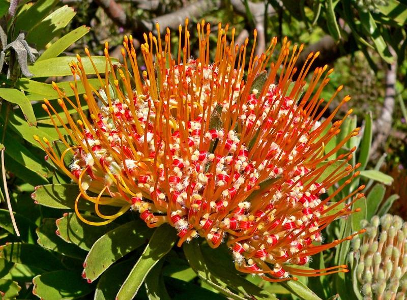 Leucospermum,quắn hoa,Proteaceae