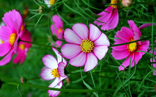 hoa cúc sao nháy,hoa cúc,hoa bướm,hoa cánh bướm,hoa chuồn chuồn,hoa Cosmos,Cosmos,cây hoa cảnh,sinh vật cảnh,Cosmos bipinnatus
