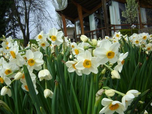 Hoa thủy tiên,hoa ngày Tết,Narcissus,sự tích hoa Thủy Tiên ngày Tết,Tết,Tết Nguyên đán