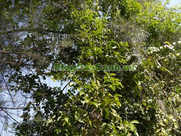 Cây Chóc Máu,cây chóc máu, Salacia cochinchinensis Lour, dây gối, Celastraceae, hình ảnh cây chóc máu, cay choc mau, cây chóp máu, cây chóp mào, cây chóp mao, cây chóc máu chữa bệnh, công dụng cây chóc máu,