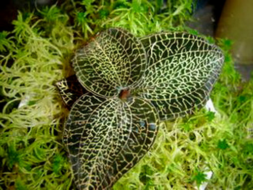 Lan kim tuyến,Lan kim tuyến lông cứng,Kim tuyến,Kim tuyến tơ,Giải thủy tơ,Lan gấm,Cỏ nhung,Kim cương,Anoectochilus setaceus,Anoectochilus,hoa lan