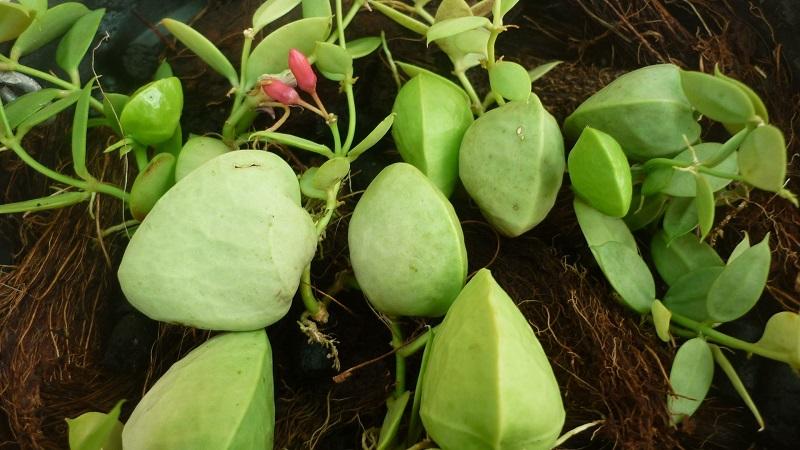 Lan sò,Lan sò,hoa lan sò,cây lan sò,cây con sò,họ Bông tai,họ Thiên lý,Asclepiadaceae,cây leo