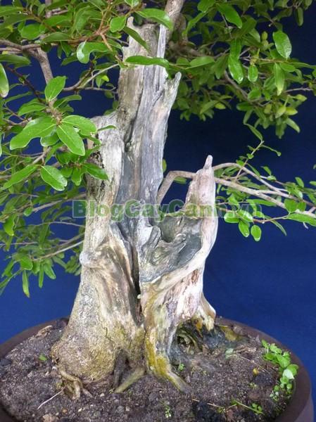 Cây Dũ Dẻ,cây dũ dẻ, chi Anomianthus, họ Na, Annonaceae, cây dủ dẻ, cay du de, cây nhị tuyến, cây vô danh hoa, dây trái lông, Anomianthus dulcis, Dunal,