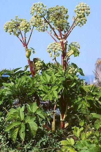 Bạch chỉ,cây bạch chỉ,Angelica dahurica,họ hoa tán,Apiaceae,cây thuốc