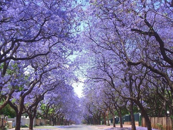 Đường hoa phượng tím ở Nam Phi