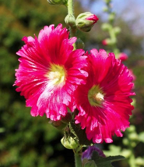 Hoa Thục Quỳ - Mãn đình hồng