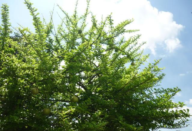 Đào tiên,cây đào tiên,cây đào,cây trường sinh,quả trường sinh,Crescentia cujete,họ chùm ớt,họ Đinh,họ Núc nác,họ Quao,Bignoniaceae