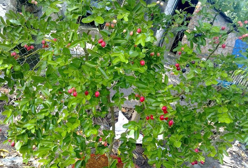 Cây siro,cây si ro,cây si rô,cây xi ro,siro,si ro,si-ro,carissa carandas,họ Dừa cạn,Apocynaceae,cây bụi