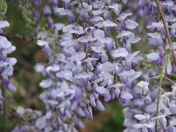 Hoa Tử Đằng,hoa tử đằng,sắn tía,đậu tía,Wisteria sinensis,wisteria,Fabaceae,hoa tình yêu,Nhật Bản
