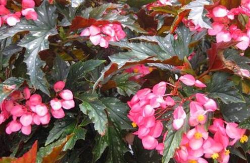 Thu hải đường,thu hải đường lá phong,Begonia,Begoniaceae,hoa Kim Chính Nhật,cây hoa đẹp