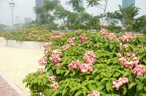 Cây bướm hồng