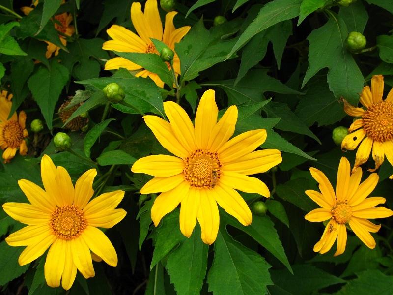 Dã quỳ,hoa dã quỳ,cây dã quỳ,cúc quỳ,sơn quỳ,quỳ dại,hướng dương dại,hướng dương Mexico,cúc Nitobe,hoa hướng dương,Tithonia diversifolia,họ Cúc,Asteraceae