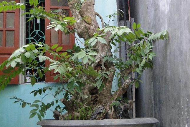 Thừng mực,cây thừng mực,cây lồng mức