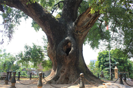 Dã hương,hoa dã hương,cây dã hương cổ thụ nhất Việt Nam,cây dã hương Lạng Giang tỉnh Bắc Giang
