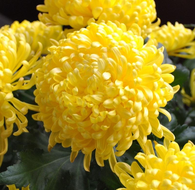 Cúc đại đóa,hoa cúc đại đóa,hoa cúc,Asteraceae,Compositae