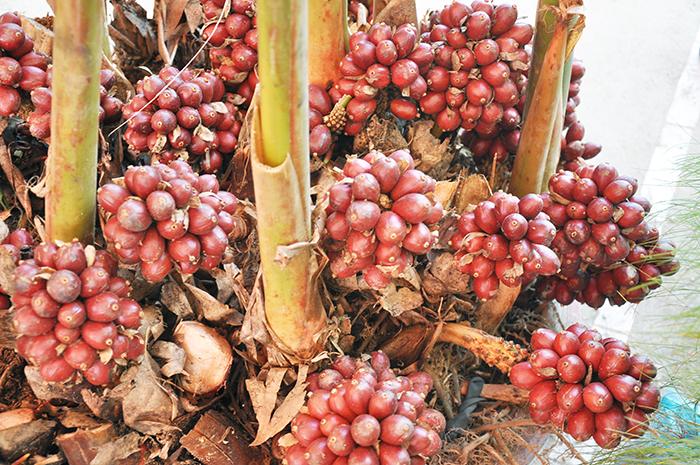 Thảo quả,quả thảo,đò ho,thảo đậu khấu,mác hấu,amomum tsao-ko,amomum tsaoko,họ gừng,zingiberaceae,công dụng của thảo quả,tác dụng của thảo quả,cách trồng thảo quả,chế biến thảo quả,cây thuốc