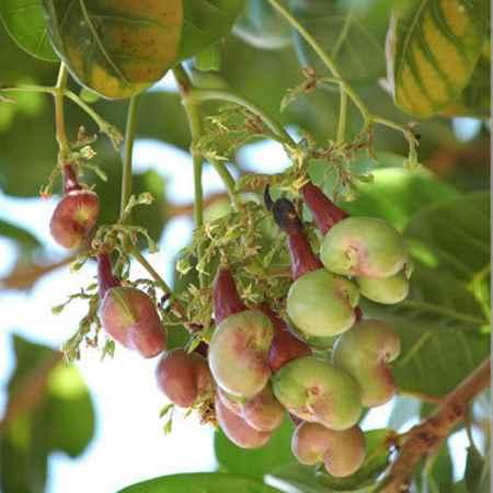Cây điều,hạt điều,đào lộn hột,Anacardium occidentale L,Anacardium curatellifolium A.St.-Hil,tác dụng của hạt điều,lợi ích của hạt điều