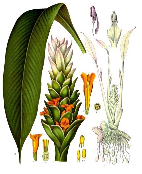 Cây nghệ,nghệ nhà,nghệ trồng,khương hoàng,Curcuma longa,họ gừng,Zingiberaceae,cây thuốc,tác dụng của củ nghệ,củ nghệ làm thuốc,củ nghệ trong ẩm thực