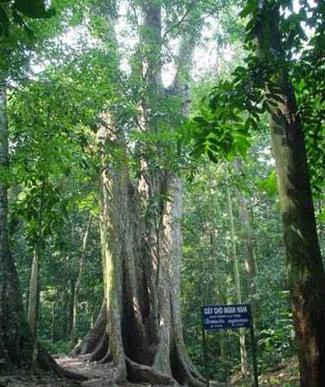 Cây chò ngàn năm,cây chò cúc phương,Cúc Phương,Rừng Cúc Phương,Vườn quốc gia Cúc Phương
