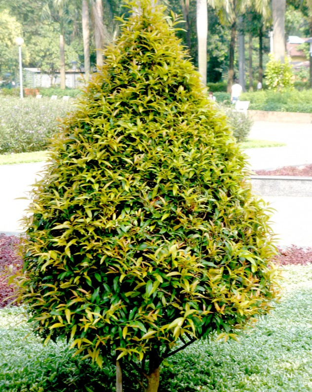 Cây Hồng Lộc