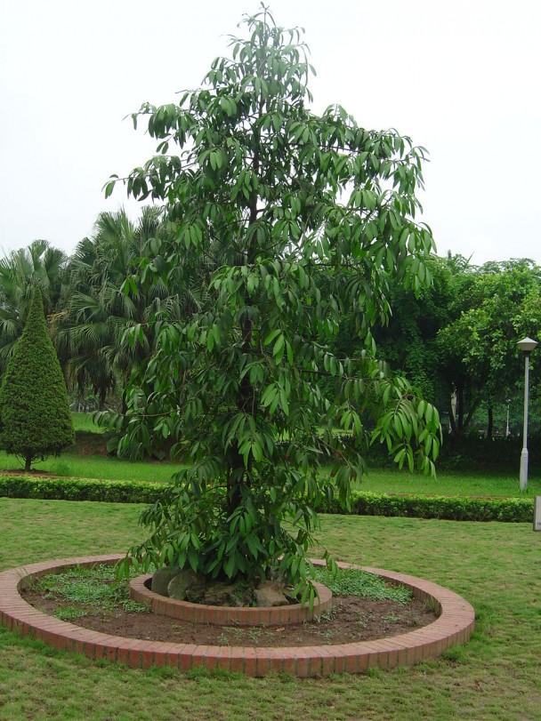 Kim giao,cây kim giao,tác dụng của gỗ kim giao,Nageia fleuryi,Podocarpaceae,Podocarpus,Decussocarmus,cây ngoại thất,cây lấy gỗ,cây làm thuốc