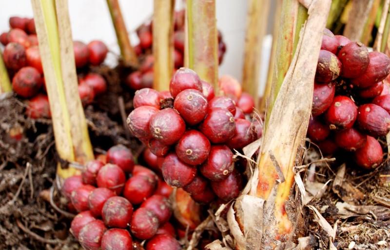 Thảo quả,Thảo quả,quả thảo,đò ho,thảo đậu khấu,mác hấu,amomum tsao-ko,amomum tsaoko,họ gừng,zingiberaceae,công dụng của thảo quả,tác dụng của thảo quả,cách trồng thảo quả,chế biến thảo quả,cây thuốc