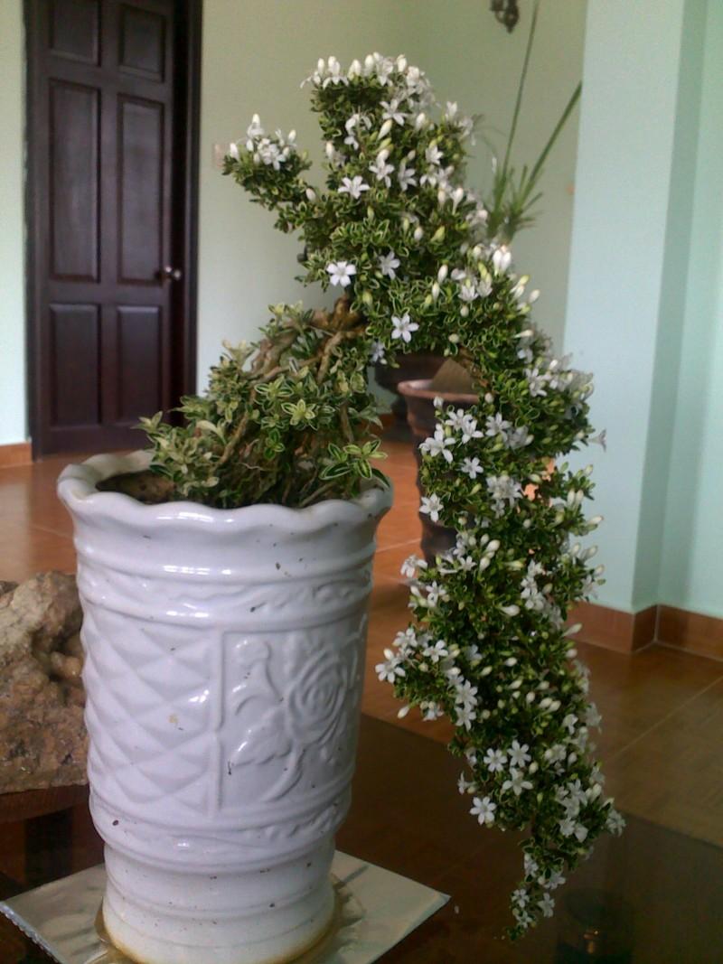 Bạch tuyết mai,Mã thiên hương,hoa ngàn sao,bạch đinh hoa,hương thiên mộc,cây bỏng nẻ,Serissa foetida,Serissa japonica Thunb,họ Thiến thảo,Rubiaceae,cây bụi