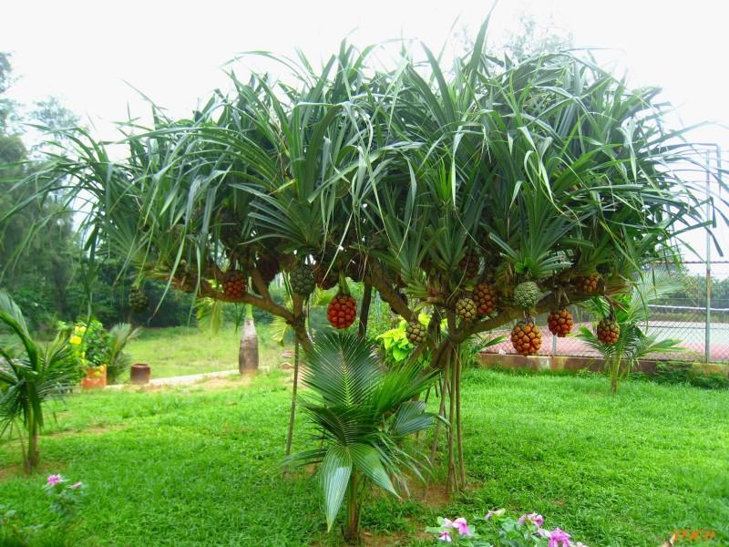 Dứa dại,dứa gai,dứa gỗ,Pandanaceae
