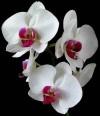 Hoa lan,phong lan,lan hồ điệp,Cochleanthes amazonica,lan mặt khỉ,phong lan rồng nhỏ,Bulbophyllum,Dendrobium alexandrae,Thế giới kỳ lạ của hoa lan
