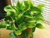 cây phong thủy,cây xanh văn phòng,cây văn phòng,cây cảnh,hoa cảnh,cây phong thủy,cây để bàn,bonsai,Cây xanh trong văn phòng