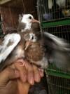 Bán chim cu gáy sinh sản,bán chim cu gáy,Bán chim cu gáy sinh sản