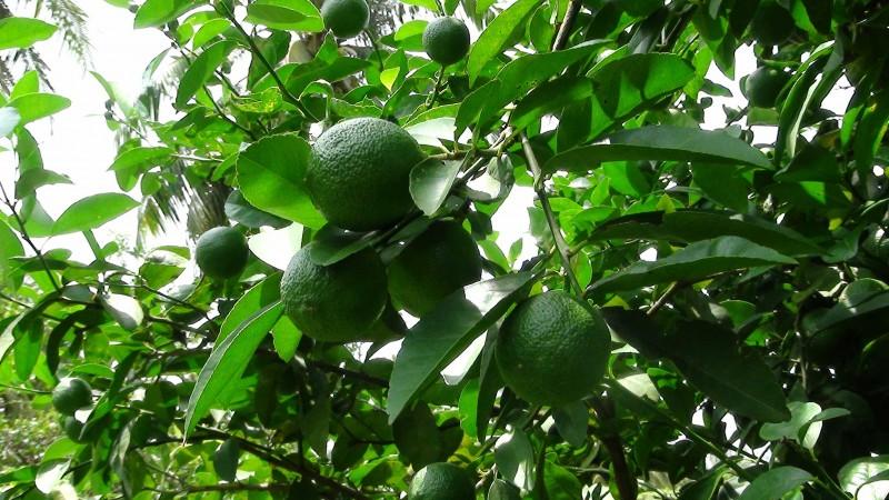 Cây chanh,chanh ta,Citrus aurantifolia,tác dụng của quả chanh,cây làm thuốc,quả chanh chữa ho