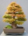 bonsai,cây cảnh bonsai đẹp,cây cảnh đẹp,những tác phẩm bonsai đẹp,Giới thiệu những tác phẩm cây cảnh Bonsai đẹp ( Phần 5 )