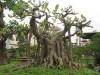 chăm sóc cây cảnh,kỹ thuật bonsai,cây đa,cây sung,cách làm lá nhỏ,Cách làm cho lá sung, lá đa nhỏ lại