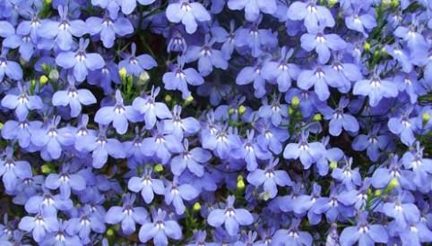 Hoa thúy điệp,hoa điệp thúy,Lobelia