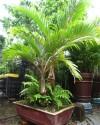 cây trồng trong nhà,cây phong thủy,cây nội thất,cây cau,cây cọ,cây tre,huyết dụ,duyên tùng,chà là,cây sung,dương xỉ,huệ hòa bình,phong lữ,lưỡi hổ,loa kèn đỏ,sống đời,ngũ gia bì,Những loại cây cảnh nên trồng trong nhà