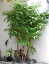Cây Phong thủy,cây may mắn,tre,cam,chanh,thông,liễu,đào,Cây Phong Thủy may mắn : Tre,cam,chanh,thông,liễu,đào