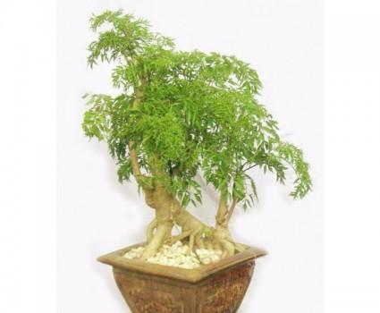 Cây đinh lăng,đinh lăng,cây gỏi cá,nam dương sâm,nam duong sam,Polyscias Fruticosa Harms,Araliaceae,Panax fruticosum,Panax fruticosus,Polyscias,Araliaceae,Đinh Lăng