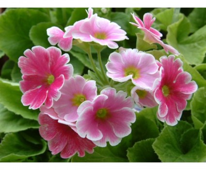 Hoa anh thảo,hoa ngọc trâm,hoa ngày Tết,Primrose,Paigle,Peagles,Herb Peter,Butter-rose,Key Flower,Our Lady's Keys,Key of Heaven,Key Flower,Hoa anh thảo