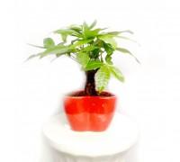 Kim ngân,cây kim ngân,cây bím tóc,Pachira aquatica,Money tree,cây may mắn,Malvaceae,cây phong thủy,cây nội thất,cây ngày Tết,Kim ngân