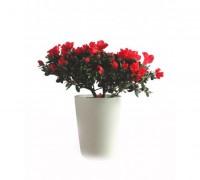 Hoa đỗ quyên,đỗ quyên,cây đỗ quyên,đỗ quyên bonsai,cây đỗ quyên bonsai,cây ngày Tết,hoa ngày Tết,hoa đỗ quyên ngày Tết,đỗ quyên hoa đỏ,Rhododendron,họ thạch nam,Ericaceae,Hoa đỗ quyên