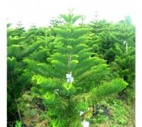 Tùng bách tán,cây Tùng,tùng,vương tùng,bách tán,Araucaria excelsa,Araucaria heterophylla,Araucariaceae,Tùng bách tán