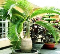 Cau sâm banh,cau cảnh,cây cau,cây nội thất,Arecaceae,Hyophorbe lagenicaulis,Cau sâm banh