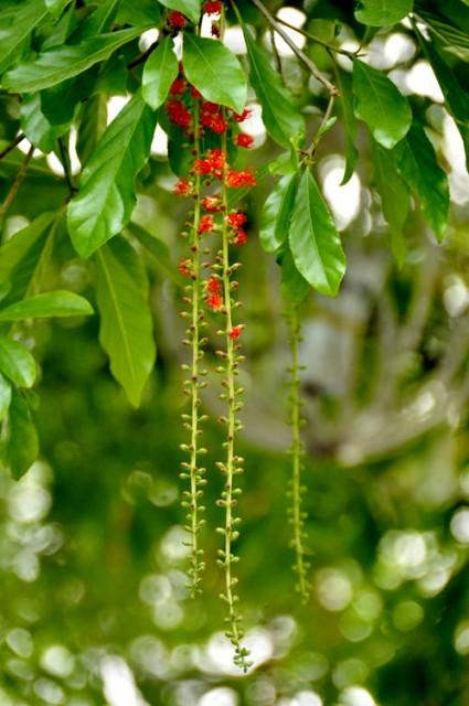 Lộc vừng,cây lộc vừng,loc vung,chiếc lộc,lộc mưng,Barringtonia acutangula,cây phong thủy,Lộc vừng