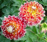 Thược dược,hoa thược dược,Dahlia variabilis Desf,họ cúc,Asteraceae,hoa tướng,hoa nửa mùa tang,ý nghĩa hoa thược dược,truyền thuyết hoa thược dược,bạch thược dược,bài thuốc từ bạch thược dược,thược dược chữa bệnh,Thược dược