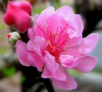 Hoa đào,hoa đào ngày Tết,cây đào,bích đào,đào phai,sự tích hoa đào,sự tích hoa đào ngày Tết,Tết,Tết Nguyên Đán,Prunus persica,Hoa đào