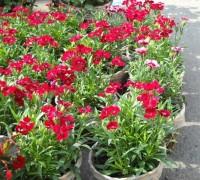 Hoa cẩm nhung,Hoa cẩm nhung