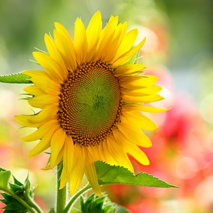 Hoa hướng dương,hoa huong duong,hoa quỳ,y nghia cua hoa huong duong,Helianthus annuus,Asteraceae,inflorescence,sunflower,cây ngày Tết,hoa ngày Tết,Hoa hướng dương