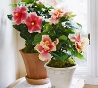 Dâm bụt,hoa dâm bụt,hoa dâng bụt,hoa râm bụt,bông bụp,bông lồng đèn,mộc cận,chu cận,đại hồng hoa,phù tang,hoa phù tang,phật tang,hoa phật tang,các loài hoa dâm bụt,dâm bụt thường,dâm bụt kép,dâm bụt có quả không,Hibiscus rosa-sinensis,ý nghĩa hoa dâm bụt,ý nghĩa hoa râm bụt,sự tích hoa dâm bụt,sự tích hoa râm bụt,họ bông,họ cẩm quỳ,Malvaceae,Dâm bụt