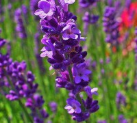 Hoa oải hương,Lavendula,Lavandula angustifolia,Lavender,common lavender,true lavender,narrow-leaved lavende,ý nghĩa hoa oải hương,họ Hoa môi,Lamiaceae,Hoa oải hương